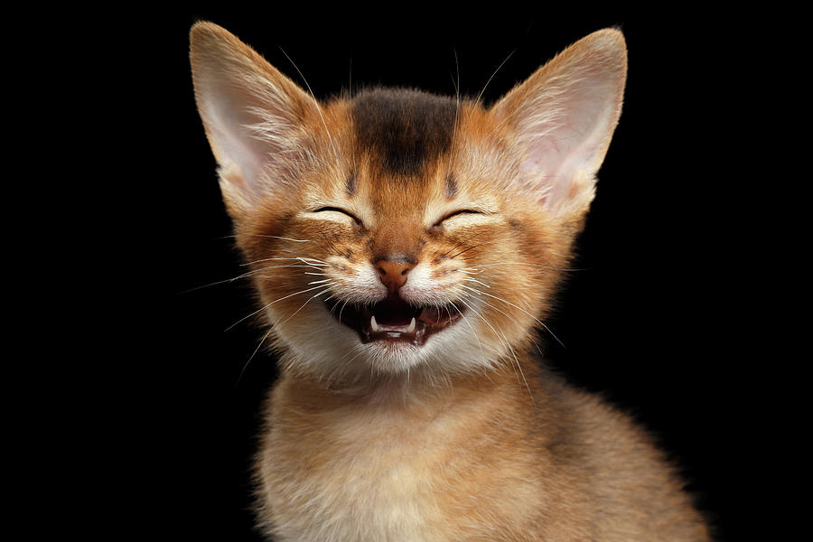 Kitten Photograph - Laughing Kitten  by Sergey Taran