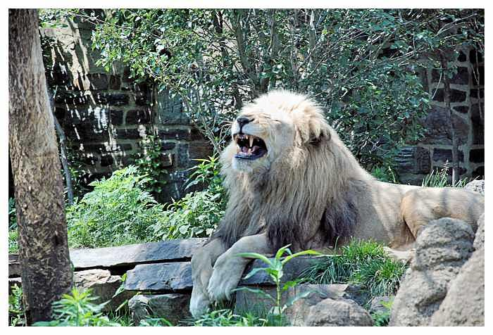 Laughing lion Photograph by Angel Claudio