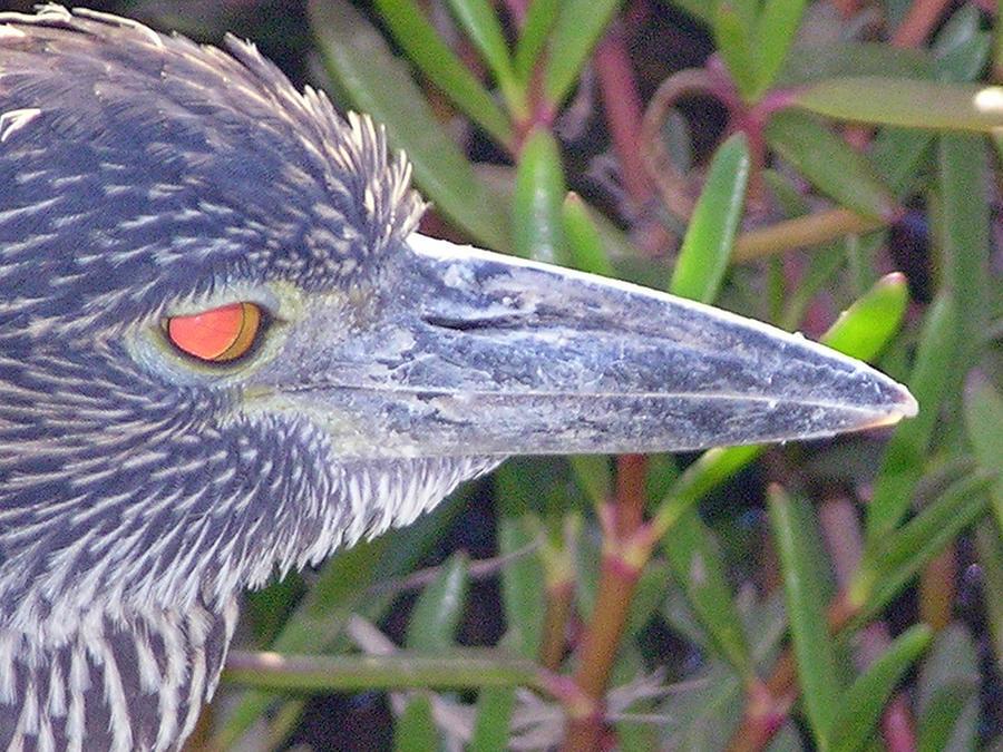 Bird Photograph - Lava Heron by Ladonna Idell
