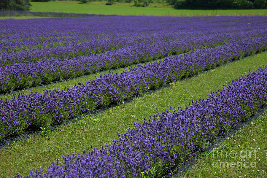 Lavender Photograph - Lavendar Rows by Timothy Johnson