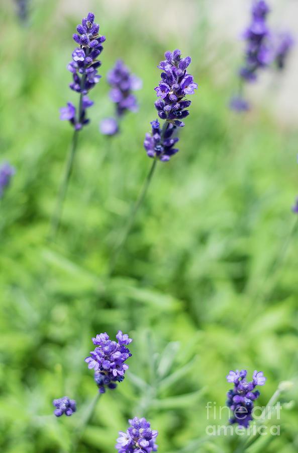Lavender 2 by Cheryl Baxter