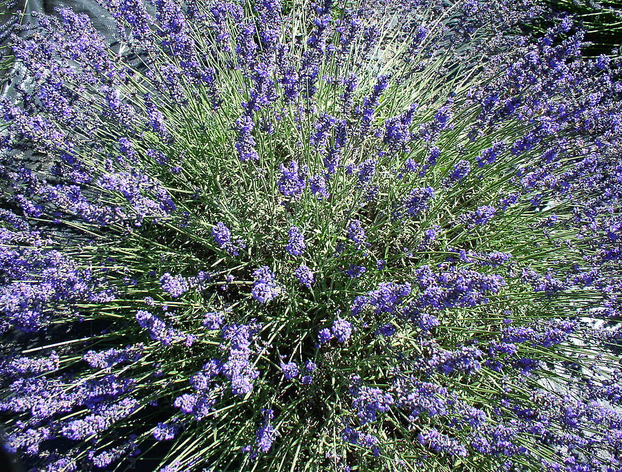 Flowers Photograph - Lavender 2 by Valerie Josi