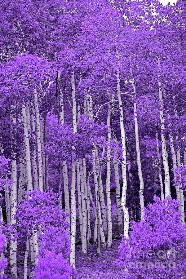 Lavender Aspen Forest Photograph