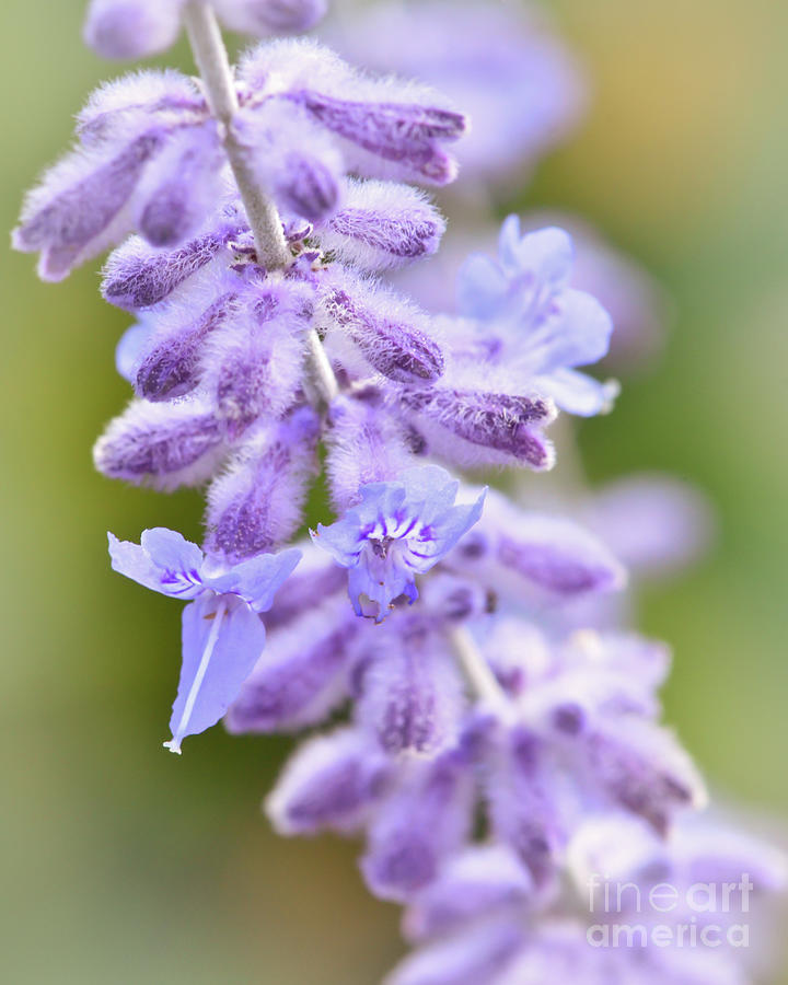 Lavender Photograph - Lavender Blooms by Kerri Farley