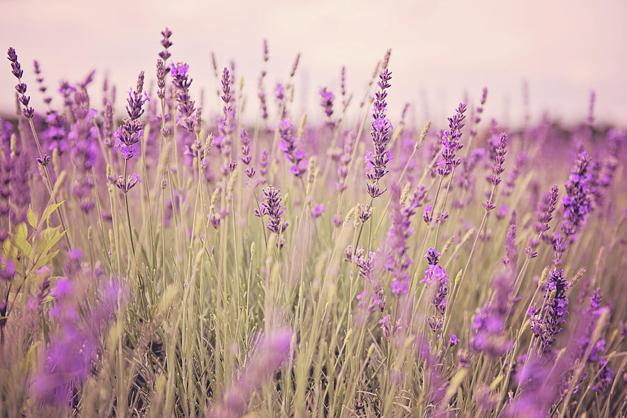 Agriculture Photograph - Lavender Blossom by Monika Tymanowska