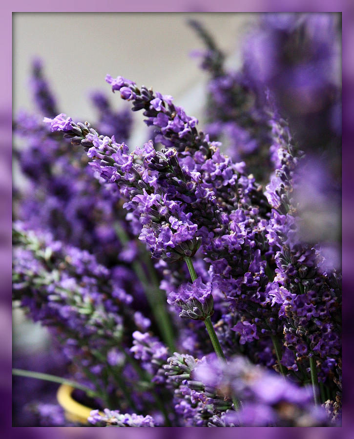 Herbs Photograph - Lavender by Cathie Tyler