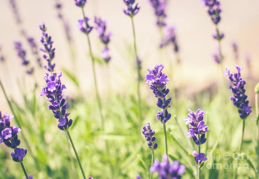 Lavender by Cheryl Baxter