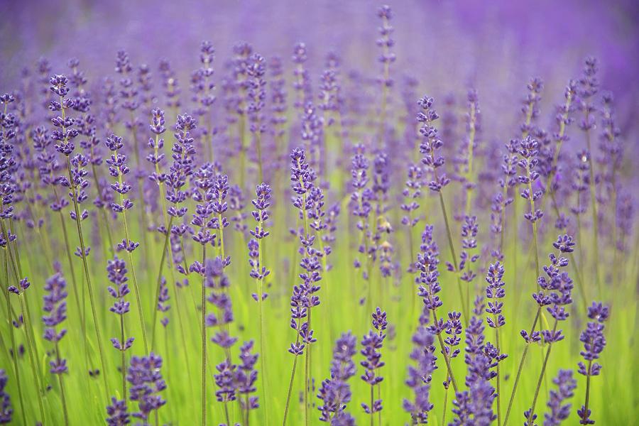 Lavender Fantasy by Jani Freimann