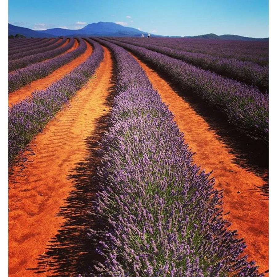 Instagram Photograph - Lavender Farm Tasmania 2015 #lavender by Paul Dal Sasso