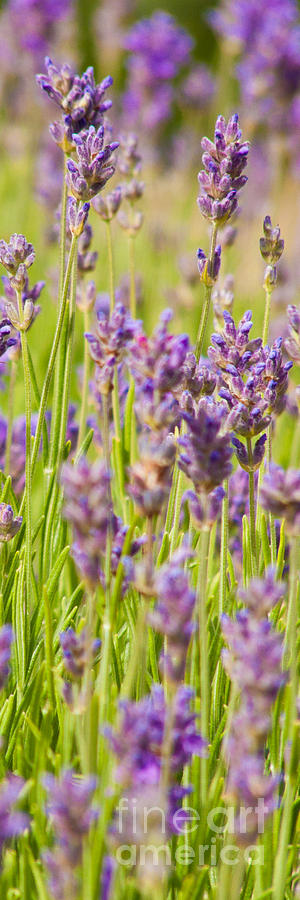 Lavender Photograph - Lavender Field by John Basford