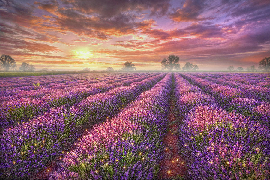 Lavender Painting - Lavender Field by Phil Jaeger