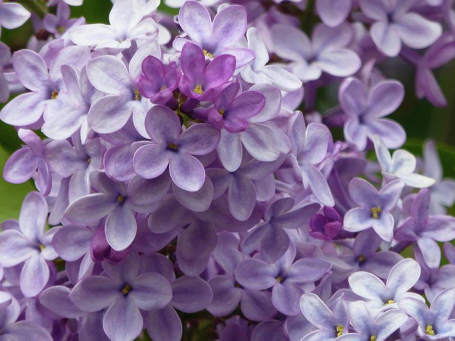 North Dakota Photograph - Lavender Lilacs by Cris Fulton