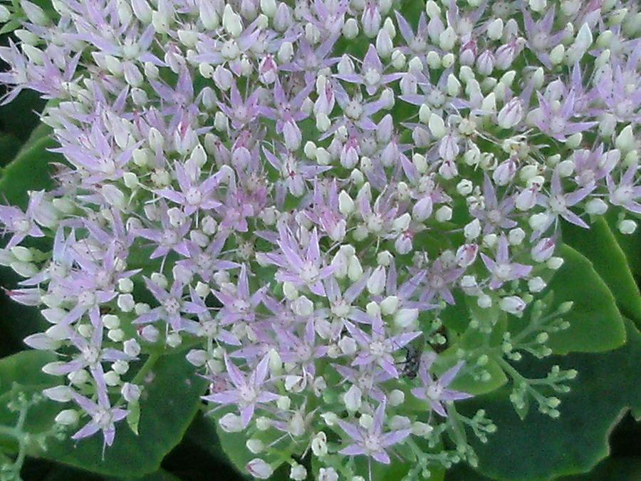 Lavender Photograph - Lavender Lovelies by Anne-Elizabeth Whiteway