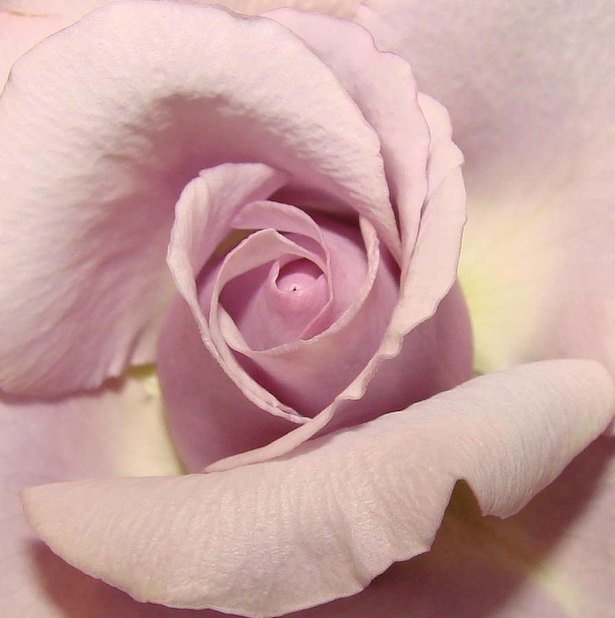 Flowers Photograph - Lavender Mini Rose by Liz Vernand