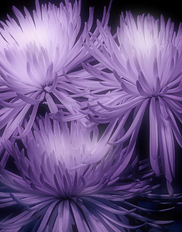 Mums Photograph - Lavender Mums by Tom Mc Nemar