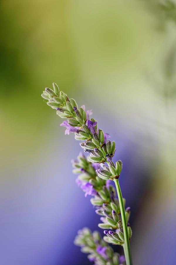 Lavender Photograph - Lavender by Nailia Schwarz