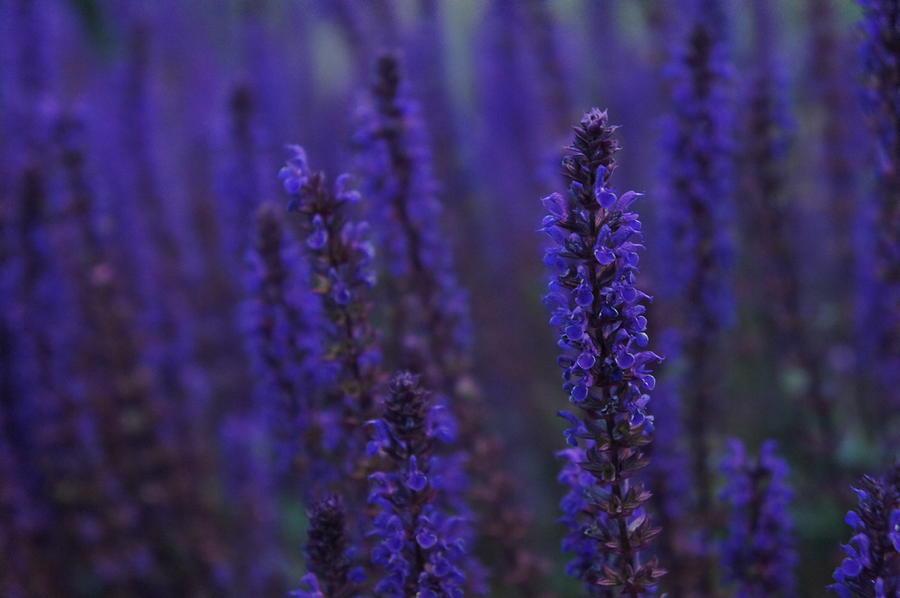 Lavender Photograph - Lavender night by Christian Trajkovski