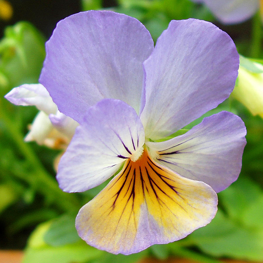 Pansy Photograph - Lavender Pansy by Nancy Mueller