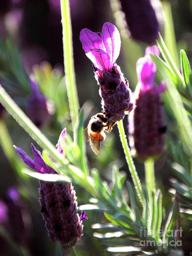 Lavender Flower Photograph - Lavender Pink by DiDi Higginbotham