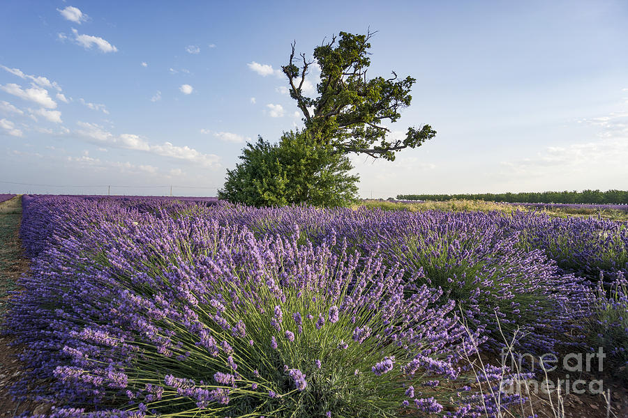 Agrarian Photograph - Lavender Provence  by Juergen Held