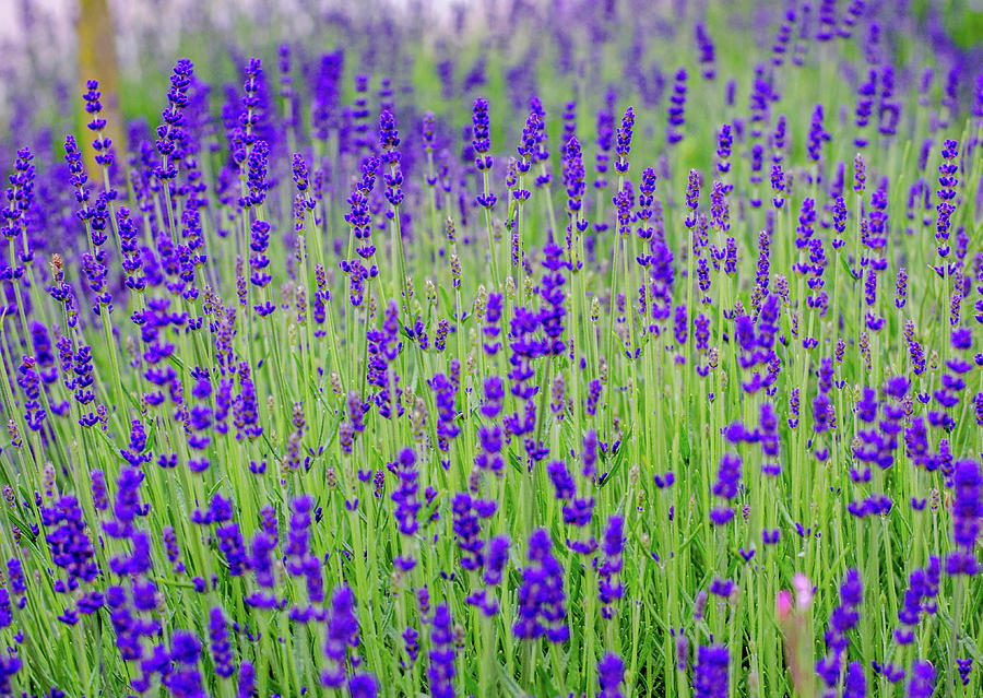 Lavender by Rainer Kersten
