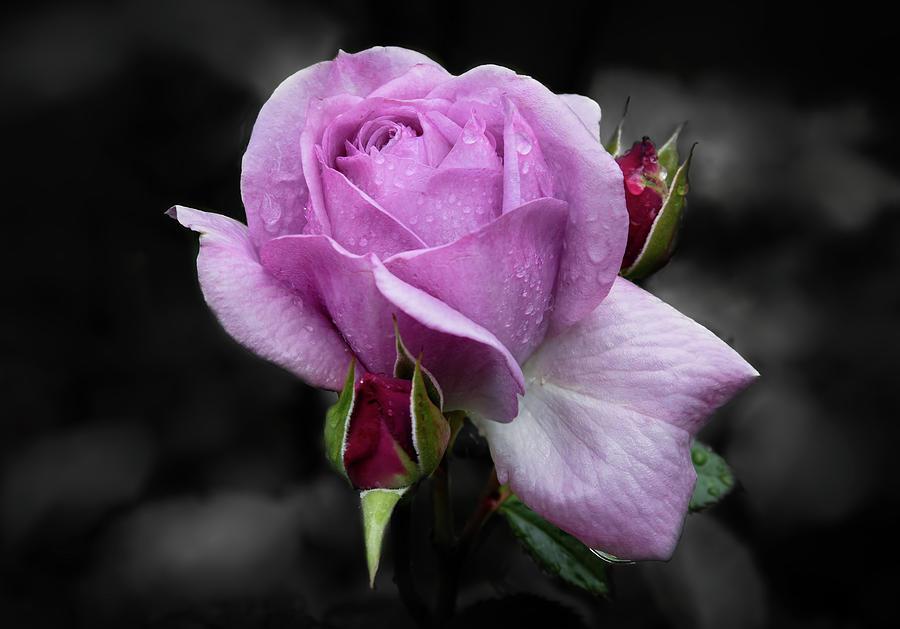 Lavender Rose by Harold Coleman