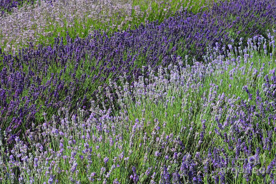 Lavender Photograph - Lavender Sea by Josie Elias