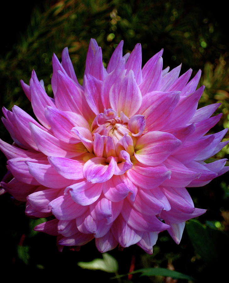 Flower Photograph - Lavender Shot by Uli Gonzalez