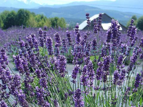 Lavender Photograph - Lavender Summer by Kaarin  Keil