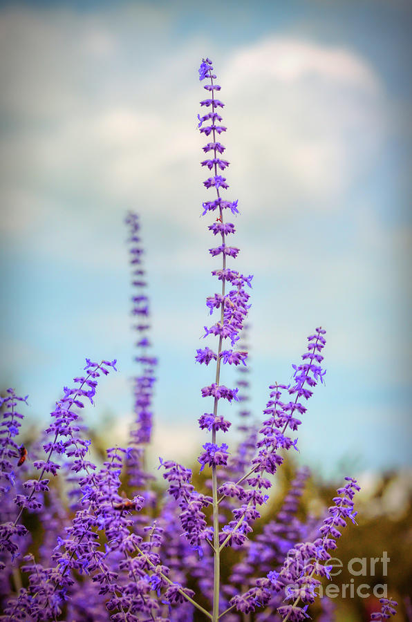 Lavender Photograph - Lavender To The Sky by Kerri Farley
