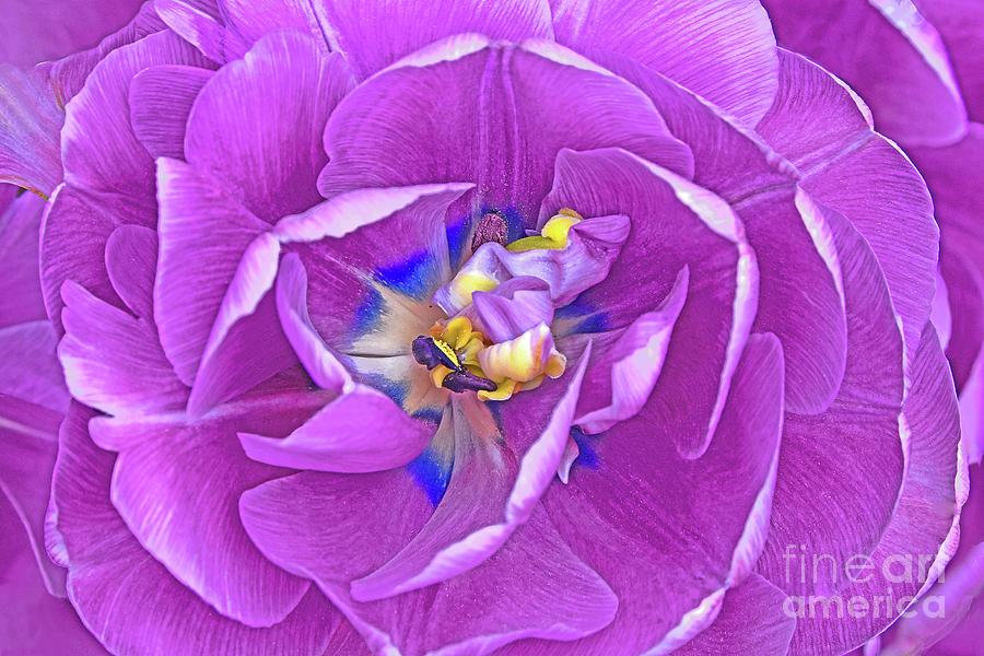 Lavender Tulip Portrait Photograph
