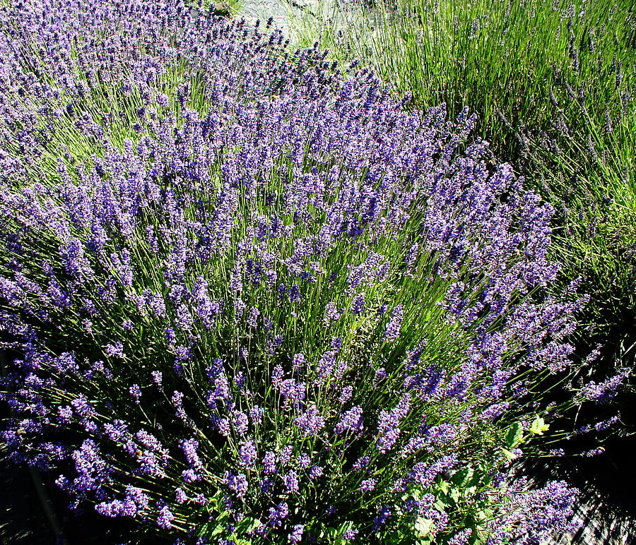 Flowers Photograph - Lavender  by Valerie Josi