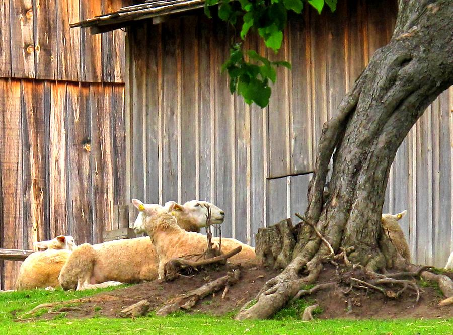 Sheep Photograph - Lawnmowers At Rest by Ian  MacDonald