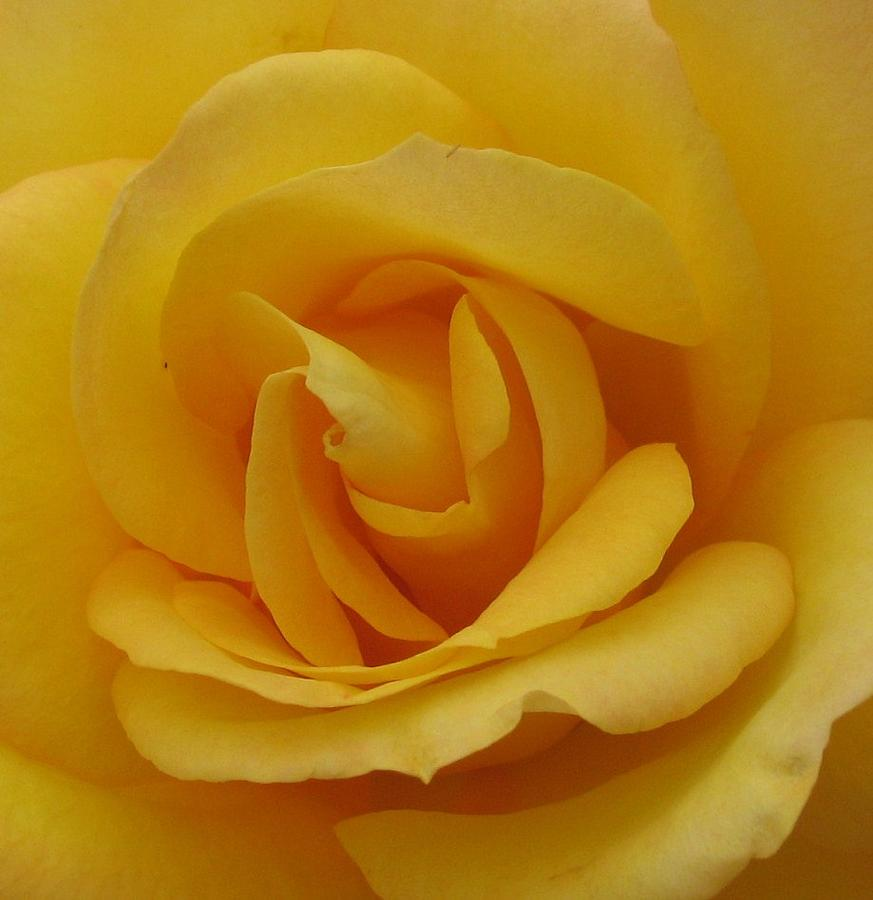 Roses Photograph - Layers Of Petals by Kathy Roncarati