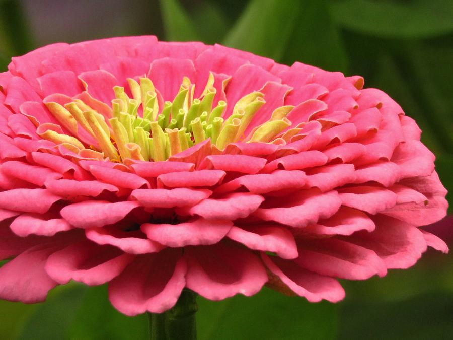 Zinnia Photograph - Layers Of Pink  by Lori Frisch