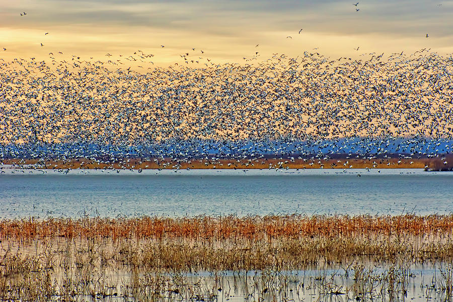 Layers - Snow Geese by Nikolyn McDonald