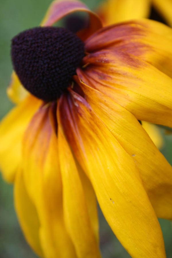 Garden Photograph - Lazy Daisy by Maria Young