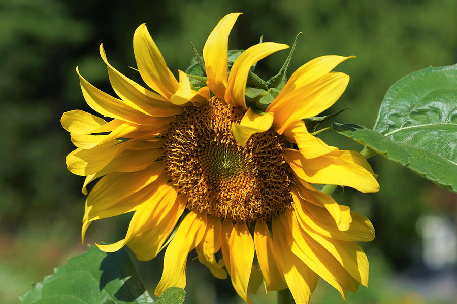 Sunflower Photograph - Lazy Days by Carrie Goeringer