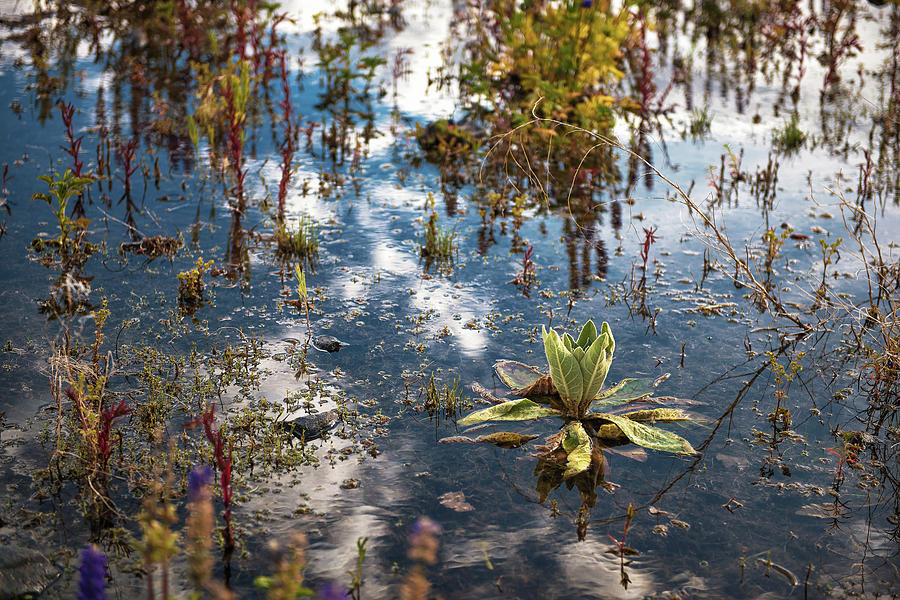Lazy Mirror, Water Loving Plants And A Reflection Of A Spring Sky Filled With Clouds At Lake Tahoe Photograph
