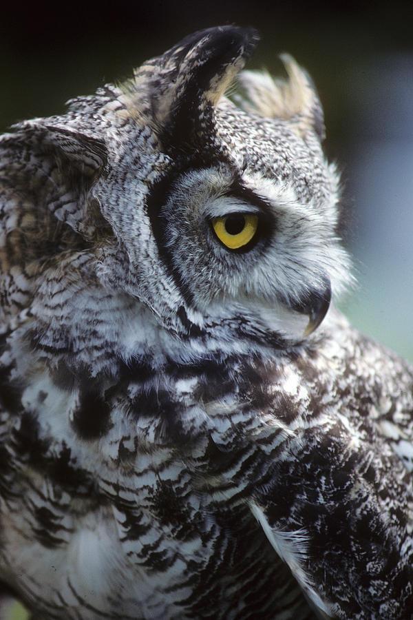 Sleepy Photograph - Lazy Owl by Carl Purcell