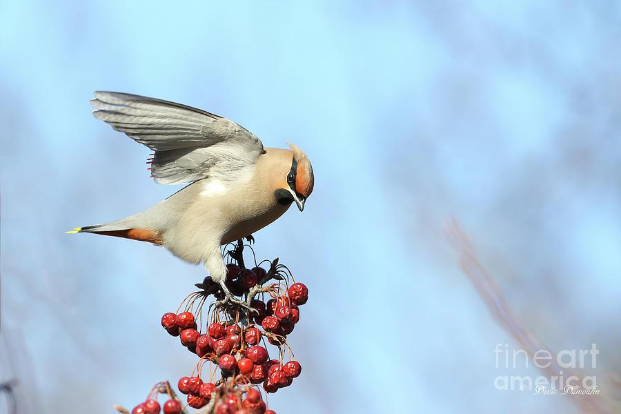 Bird Photograph - Le Jaseur Acrobate. by Denis Dumoulin
