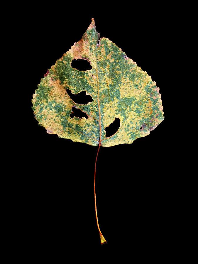 Leaf 25 by David J Bookbinder