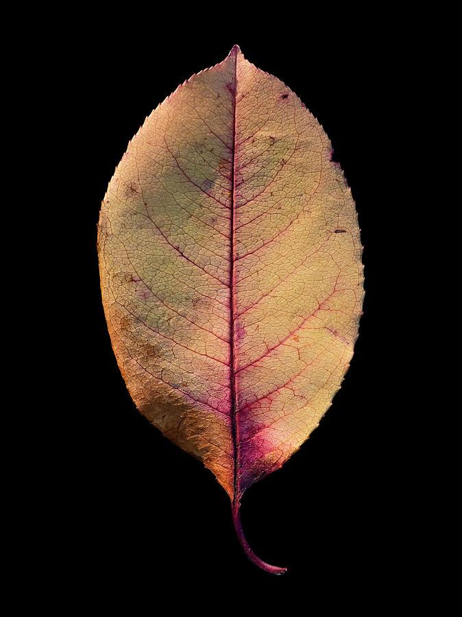 Leaf 26 by David J Bookbinder