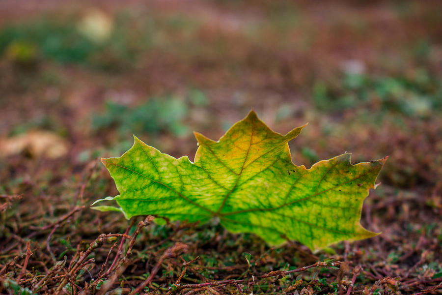 Fall Photograph - Leaf Beauty II by TLB Creations
