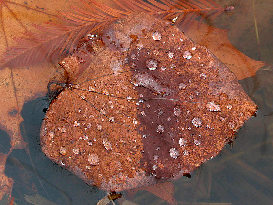 Fall Photograph - Leaf Blues by Juergen Roth