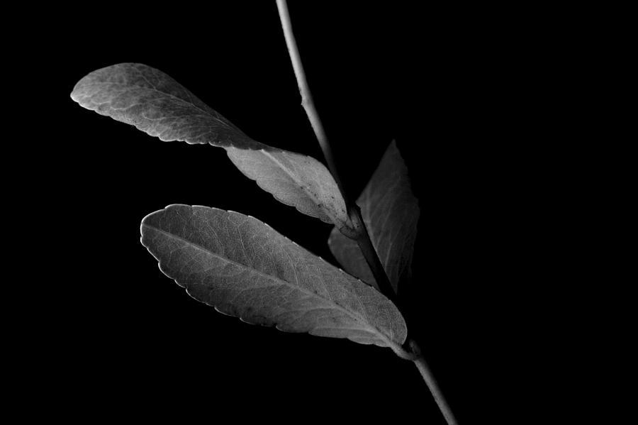 Leaf Photograph - Leaf In Black And White by James Vancek