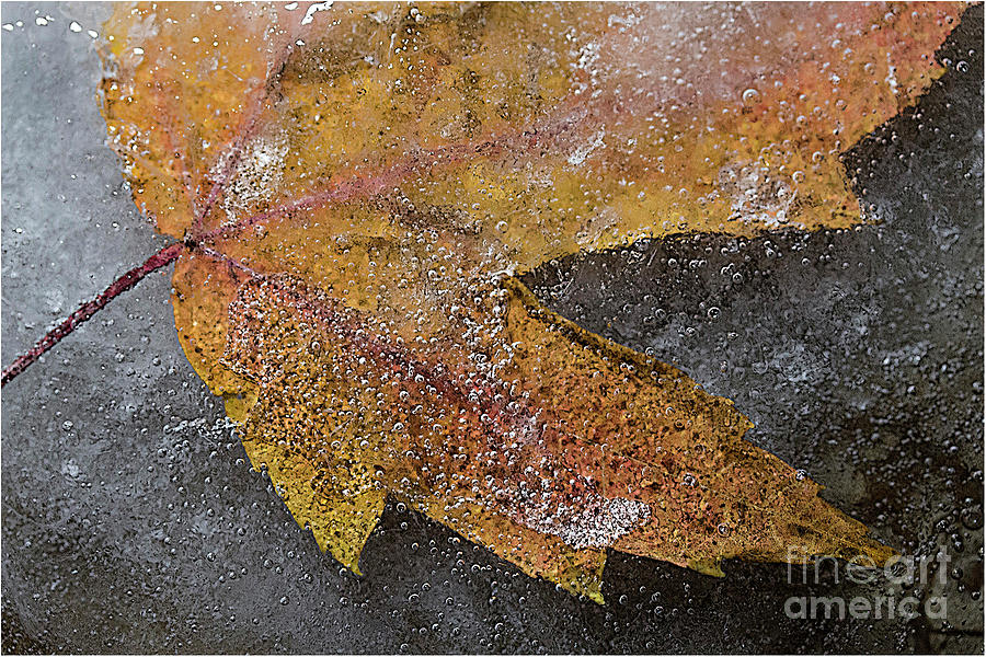Leaf Photograph - Leaf In Ice 3 by Jim Wright