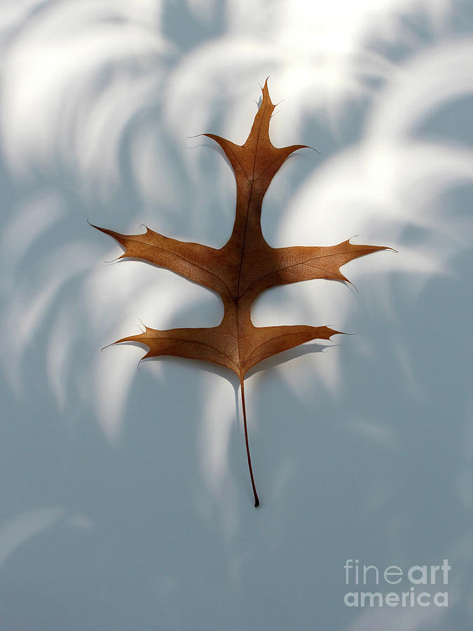 Leaf In The Eclipse Photograph