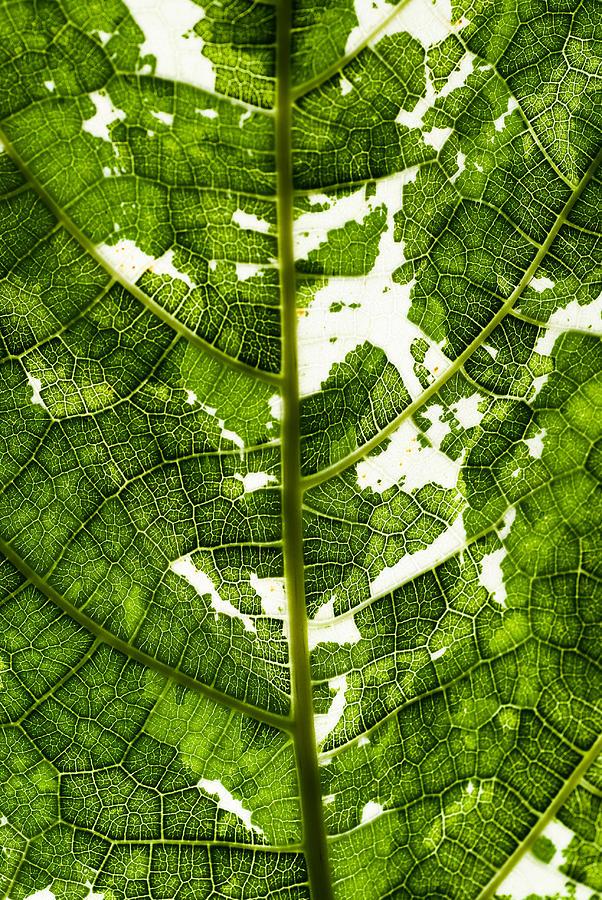 Leaf Photograph by Jonathan Hale