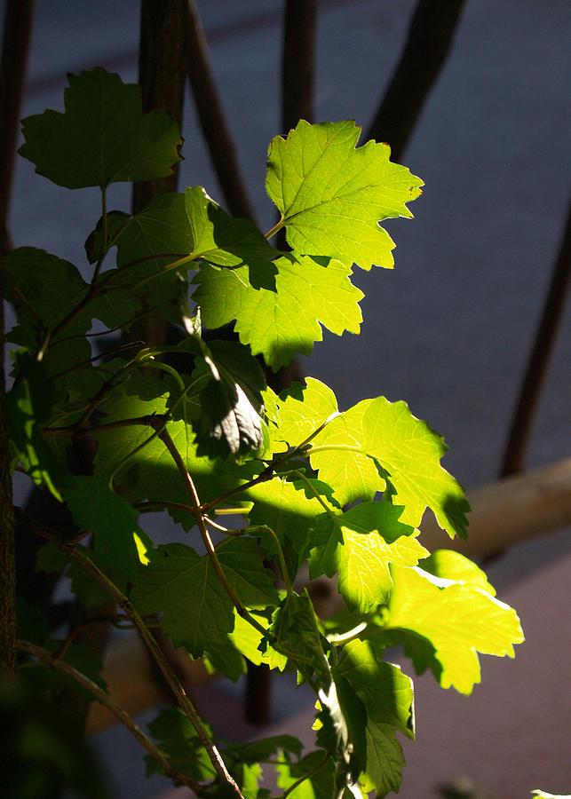 Leaf Photograph - Leaf Light II by James Granberry